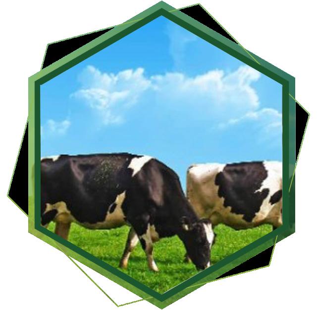 Büyükbaş Çiftlik Kurulumu
